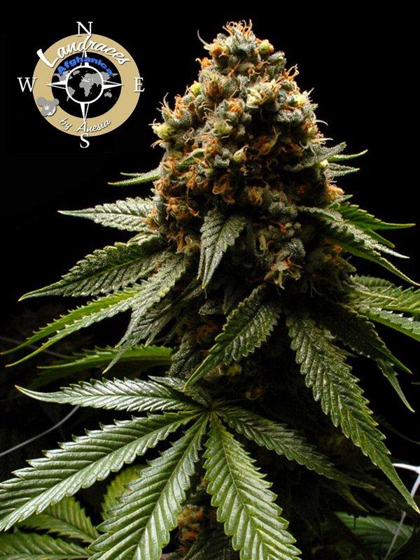 Afghanica Feminised Cannabis Seeds - Anesia Seeds
