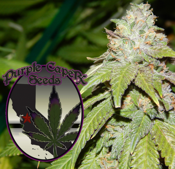 Alien OG Regular Cannabis Seeds | Purple Caper Seeds