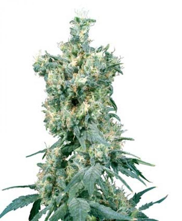 American Dream Regular Cannabis Seeds | Sensi Seeds