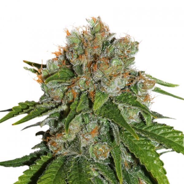 Amnesia Feminised Cannabis Seeds | Seed Stockers