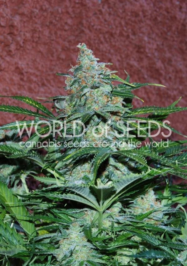 Amnesia Auto Feminised Cannabis Seeds | World of Seeds