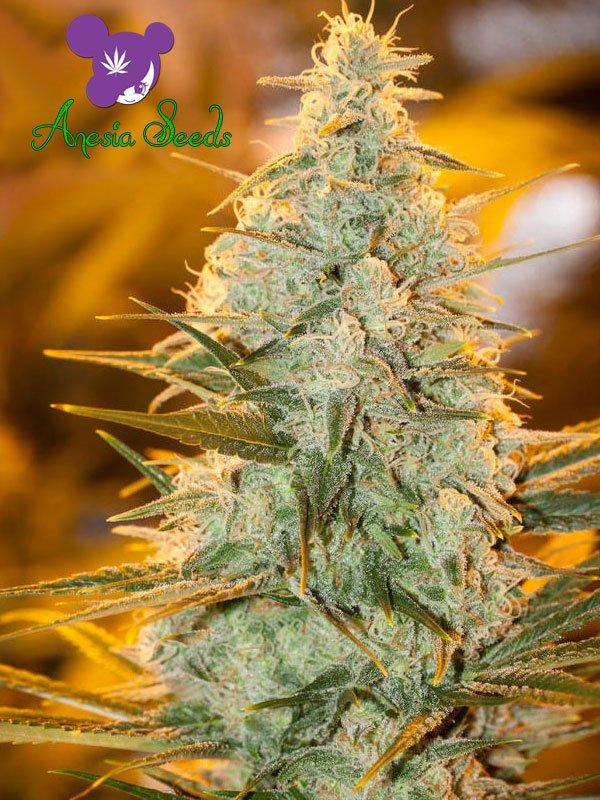 Amnesia Flash Feminised Cannabis Seeds - Anesia Seeds