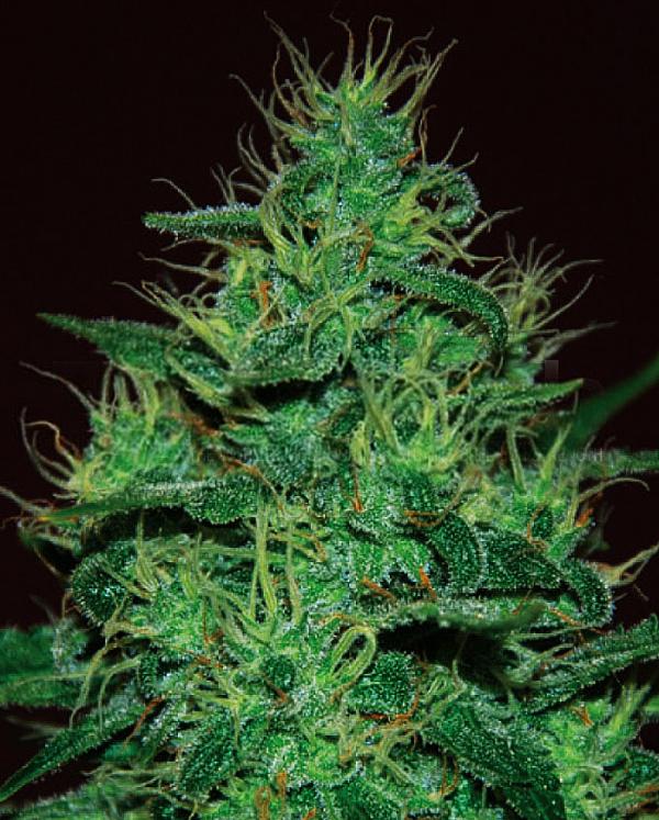 Amnesia Haze Auto Feminised Cannabis Seeds | Expert Seeds