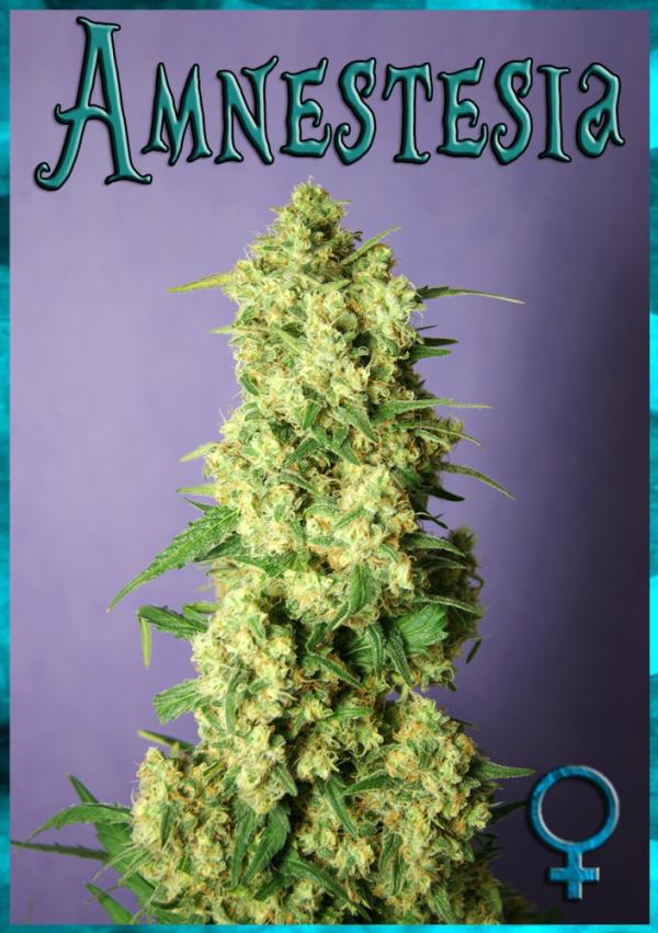 Amnestesia Feminised Cannabis Seeds | Rockwell Seeds