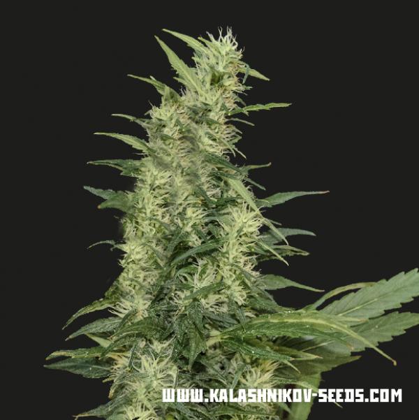 Aamurskly Giant Auto Feminised Cannabis Seeds | Kalashnikov Seeds