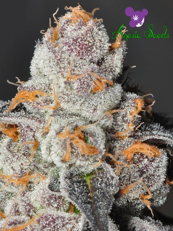 Anesia Scout Cookies Feminised Cannabis Seeds - Anesia Seeds