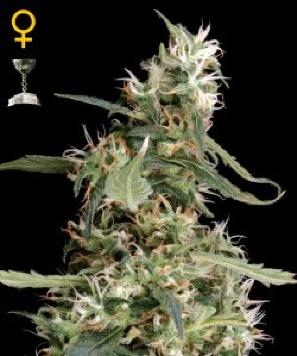 Arjan's Ultra Haze #1 Feminised Cannabis Seeds | Green House Seeds