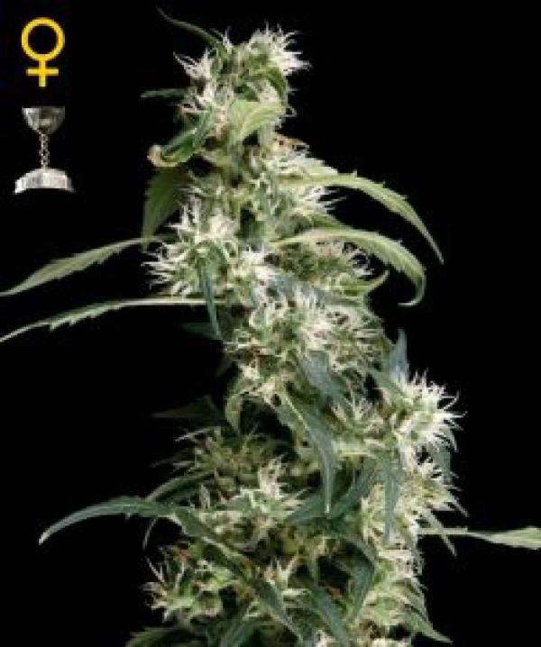 Arjan's Ultra Haze #2 Feminised Cannabis Seeds   Green House Seeds