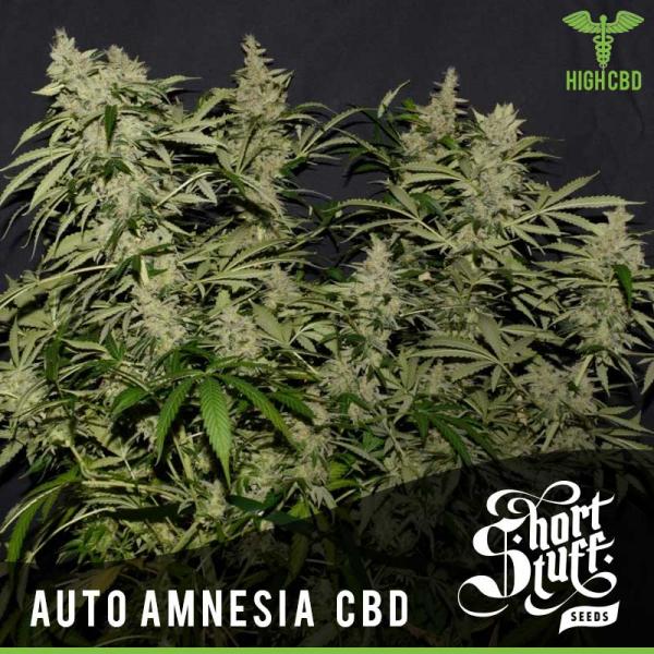 Auto Amnesia CBD Feminised Cannabis Seed | Shortstuff Seeds