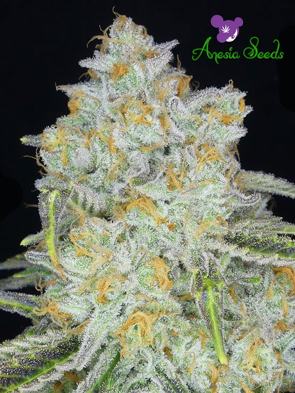 Auto Amnesia Flash Feminised Cannabis Seeds - Anesia Seeds