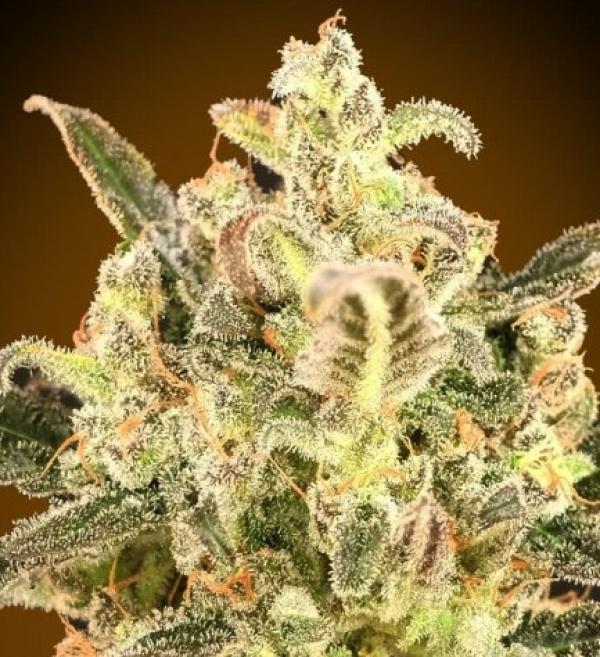 Auto Biodiesel Mass XXL Feminised Cannabis Seeds | Advanced Seeds