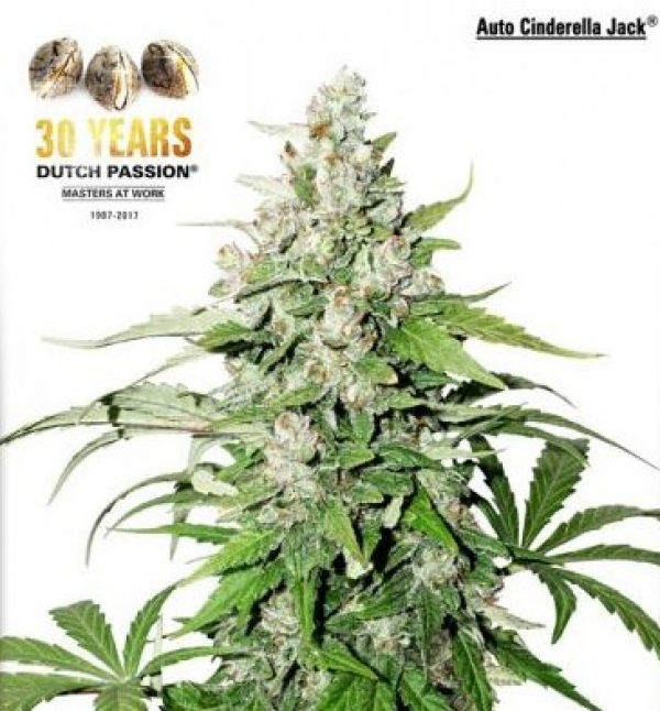 Auto Cinderella Jack Feminised Cannabis Seeds | Dutch Passion