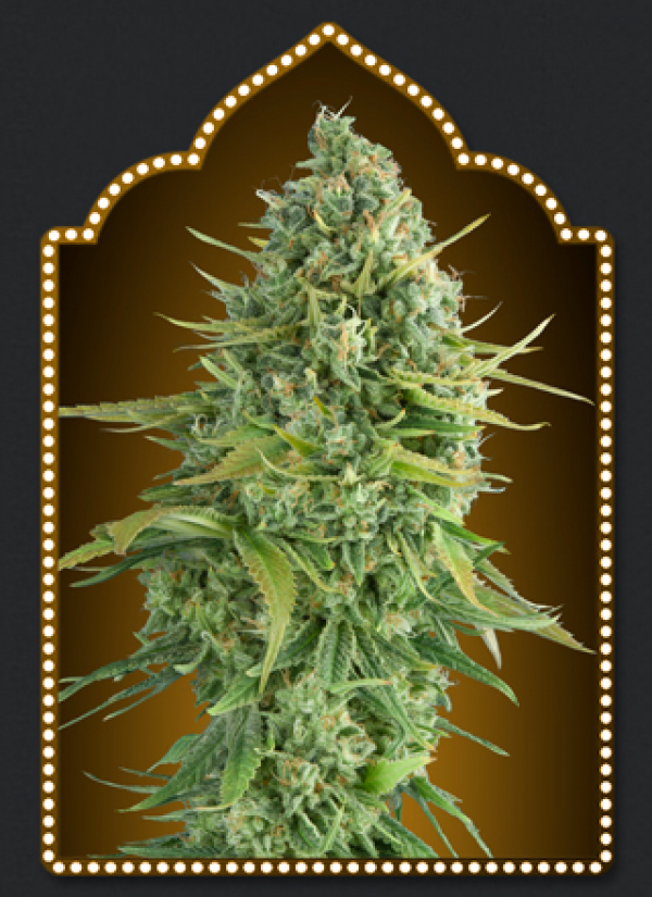 Auto Do-Si-Do Cookies Feminised Cannabis Seeds | OO Seeds