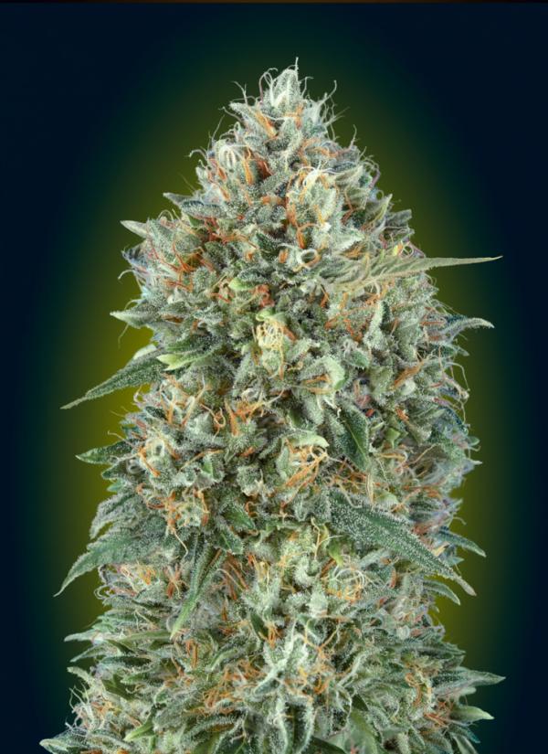 Auto Gelato #33 Feminised Cannabis Seeds | Advanced Seeds