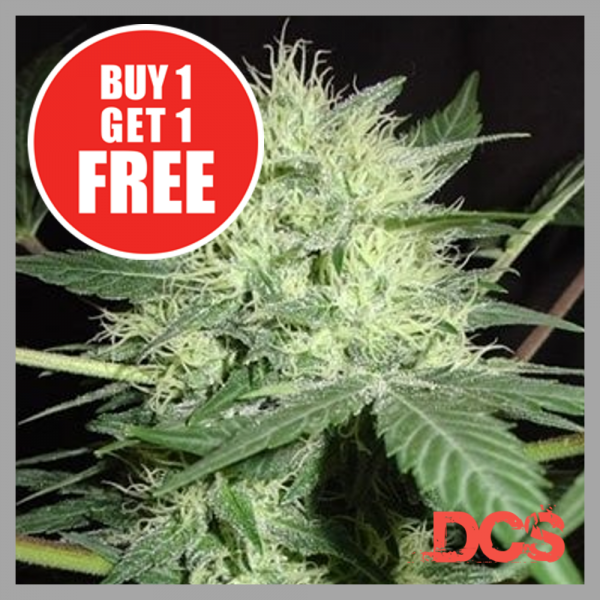 Auto Northern Lights Feminised   Discount Cannabis Seeds