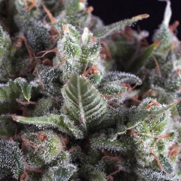 Auto Olympia Feminised Cannabis Seeds | Pyramid Seeds