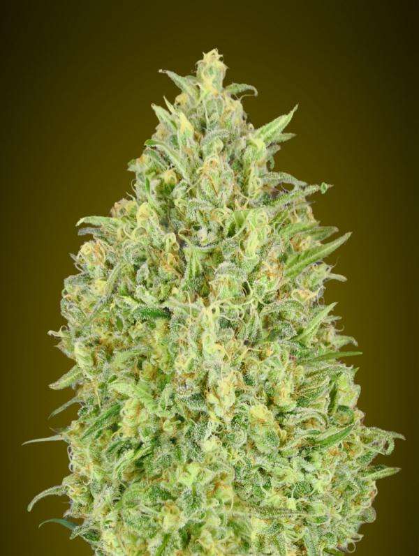 Auto Pineapple Glue Feminised Cannabis Seeds | Advanced Seeds