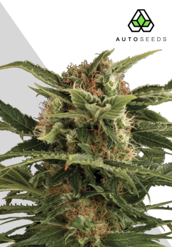 Auto Pounder Autoflowering Feminised Cannabis Seeds | Auto Seeds