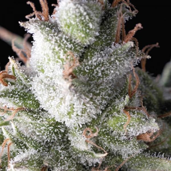 Auto Ramses Feminised Cannabis Seeds | Pyramid Seeds
