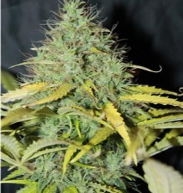 Auto Skunk #1 Feminised Cannabis Seeds   Seedsman