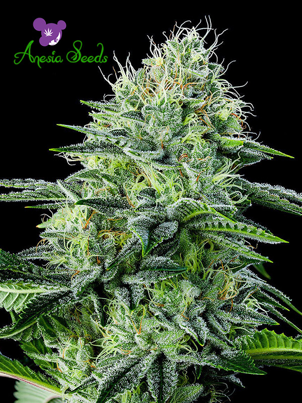 Auto Strawberry Banana Feminised Cannabis Seeds - Anesia Seeds