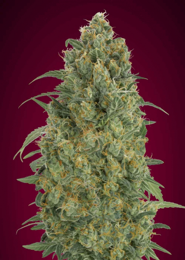 Auto Strawberry Gum Feminised Cannabis Seeds | Advanced Seeds