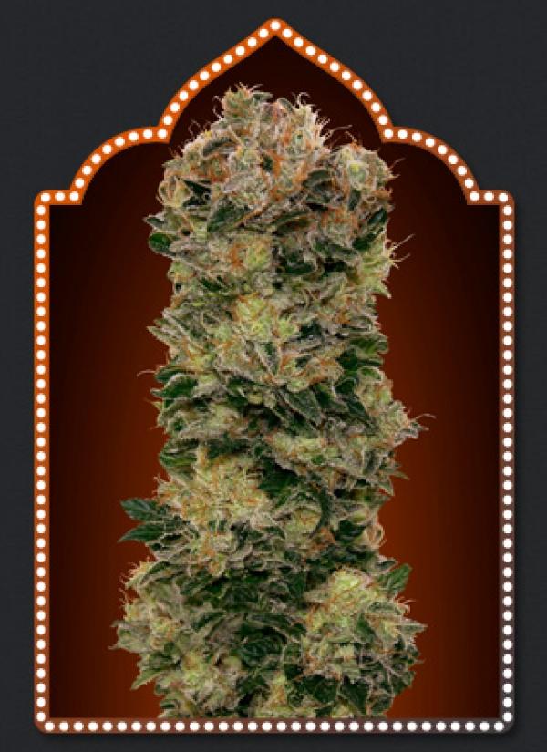 Auto Sweet Soma Feminised Cannabis Seeds | OO Seeds
