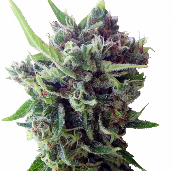 Auto Zamaldelica Feminised Cannabis Seeds | Ace Seeds