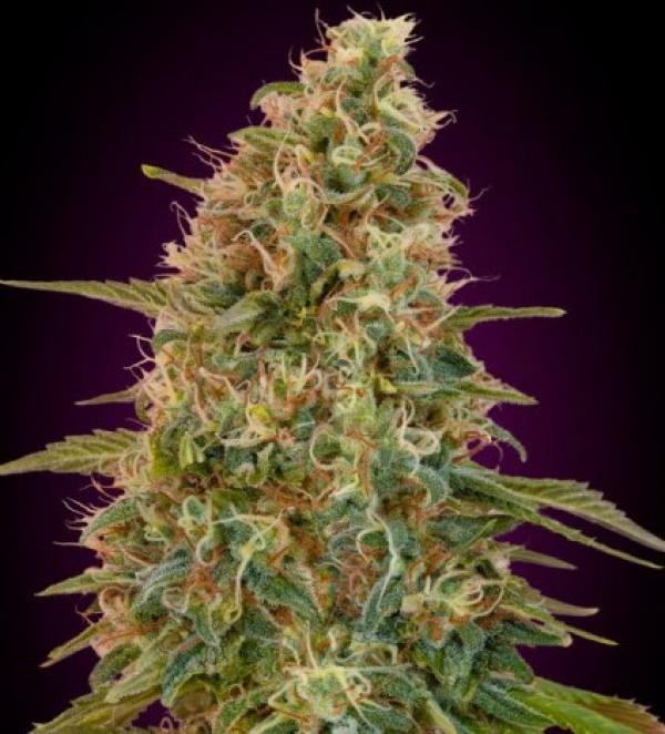 Auto Zkittlez Feminised Cannabis Seeds | Advanced Seeds