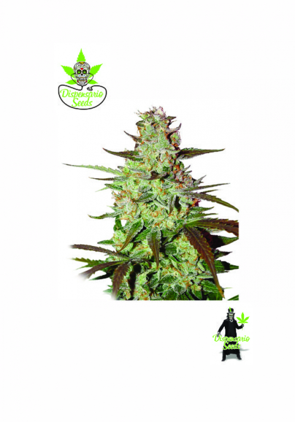 Auto Blueberry Express Feminised Cannabis Seeds | Dispensario Seeds