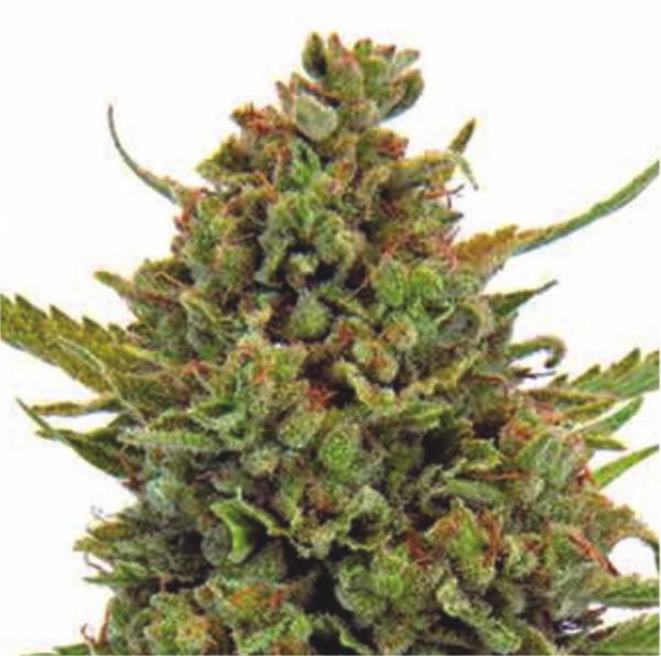 Auto Clinical Mass Feminised Cannabis Seeds | Dispensario Seeds