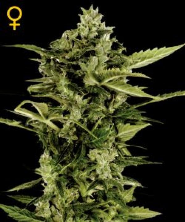 Auto Bomb Feminised Cannabis Seeds   Green House Seeds
