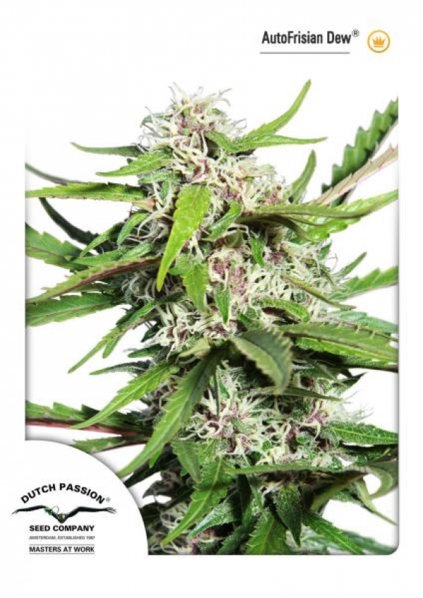Auto Frisian Dew Auto Feminised Cannabis Seeds | Dutch Passion