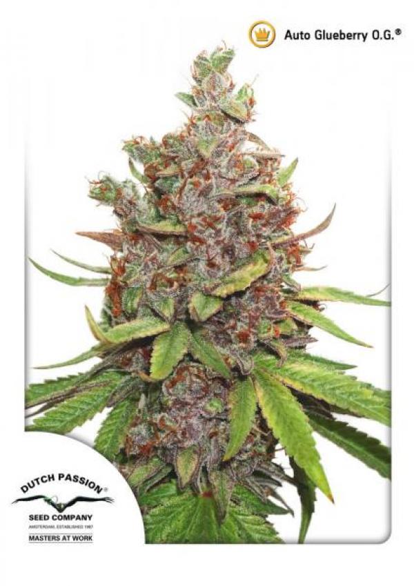 Auto Glueberry OG Feminised Cannabis Seeds | Dutch Passion