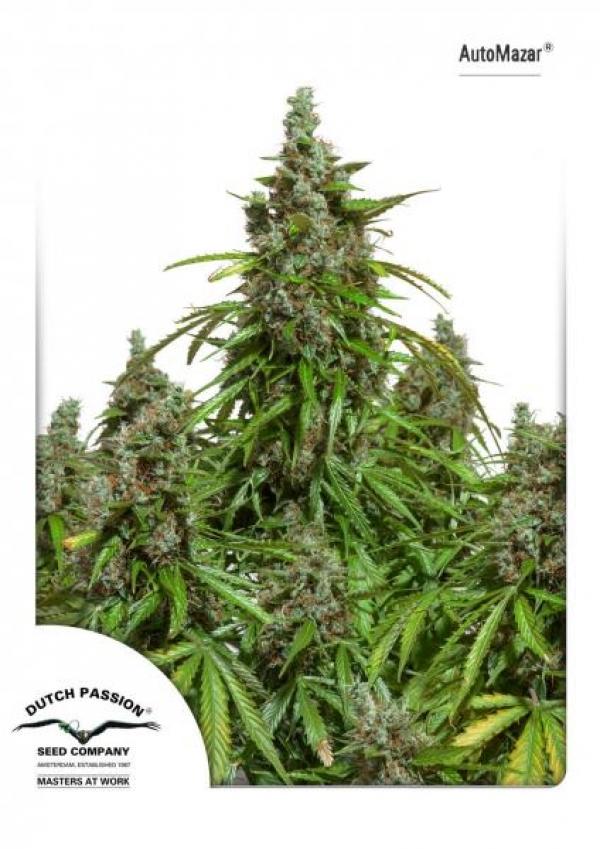Auto Mazar Auto Feminised Cannabis Seeds | Dutch Passion