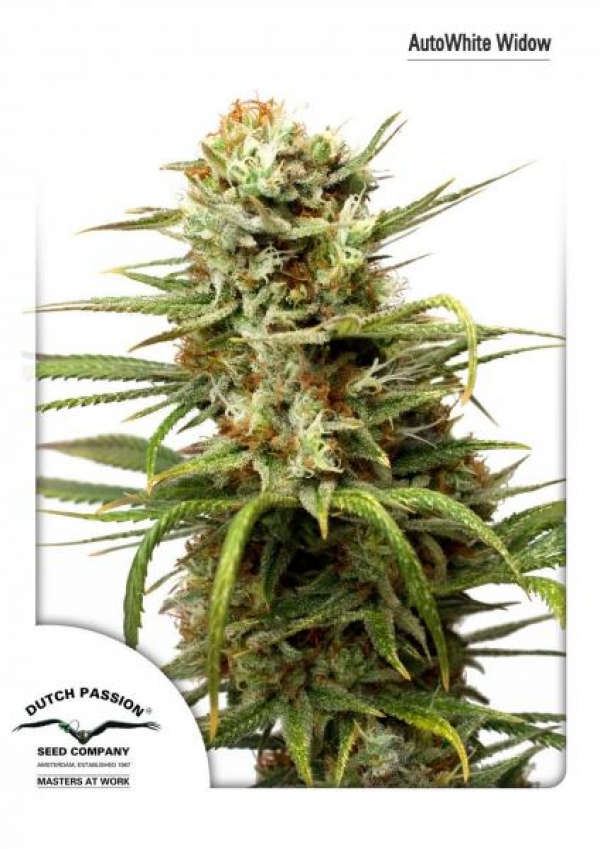 Auto White Widow Feminised Cannabis Seeds | Dutch Passion