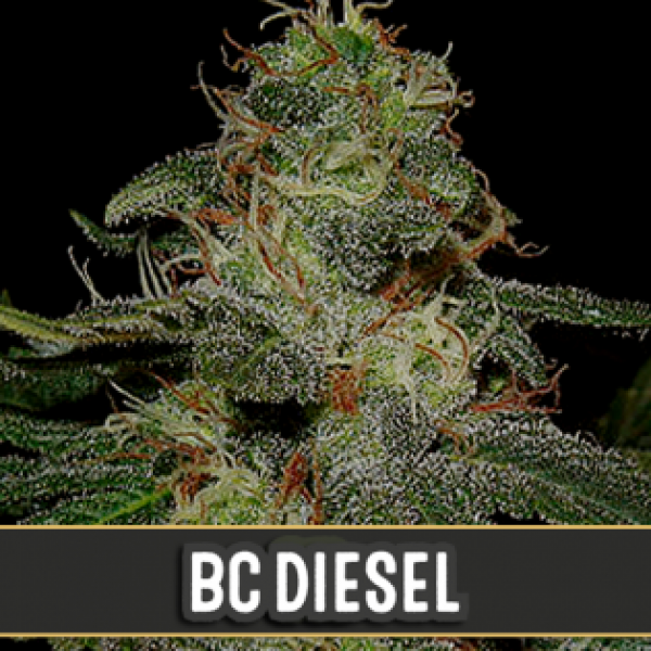 BC Diesel Feminised Cannabis Seeds | Blim Burn Seeds