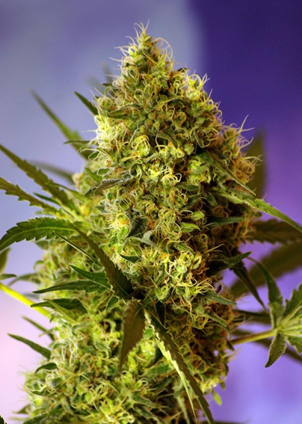 Big Devil #2 Auto Feminised Cannabis Seeds   Sweet Seeds