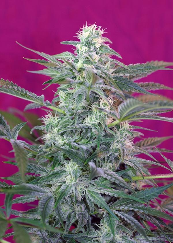 Big Foot Feminised Cannabis Seeds   Sweet Seeds