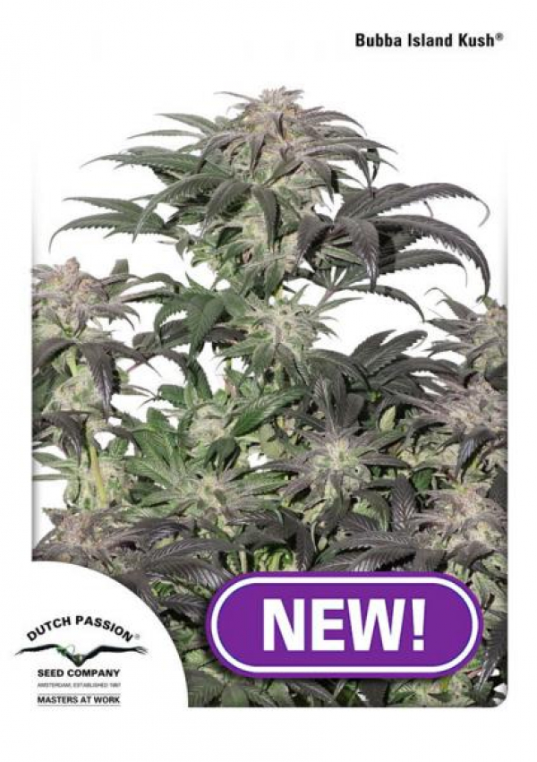 Bubba Kush Island Feminised Cannabis Seeds | Dutch Passion