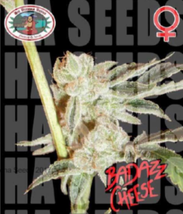 Badazz Cheese Feminised Cannabis Seeds | Big Buddha Seeds