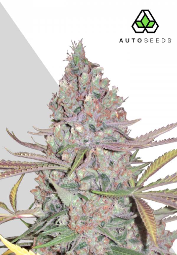 Berry Ryder Autoflowering Feminised Cannabis Seeds | Auto Seeds