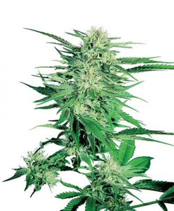 Big Bud Regular Cannabis Seeds | Sensi Seeds