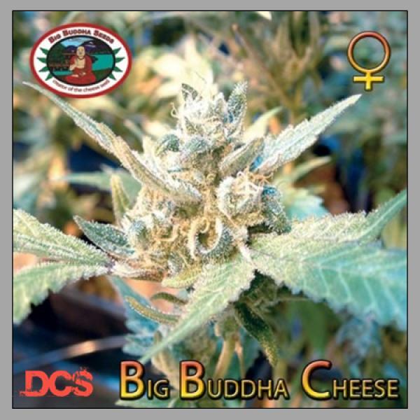 Big Buddha Cheese Feminised Cannabis Seeds   Big Buddha Seeds