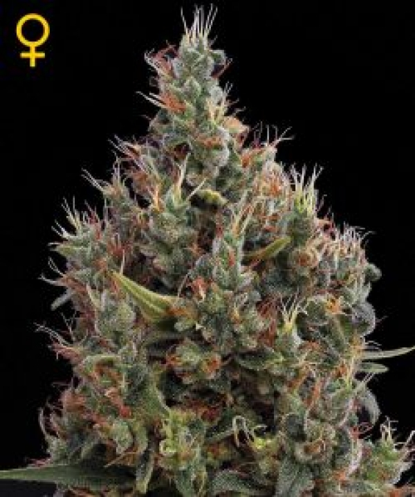 Big Bang Automatic Feminised Cannabis Seeds | Green House Seeds