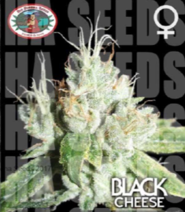 Black Cream Feminised Cannabis Seeds | Big Buddha Seeds