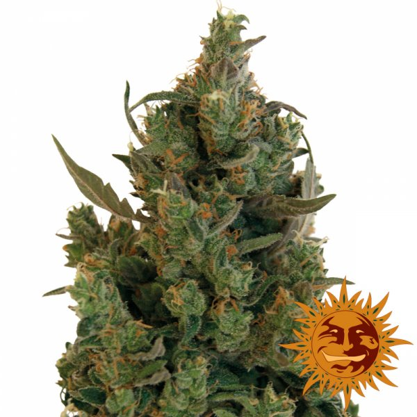 Blue Cheese Feminised | Barney's Farm