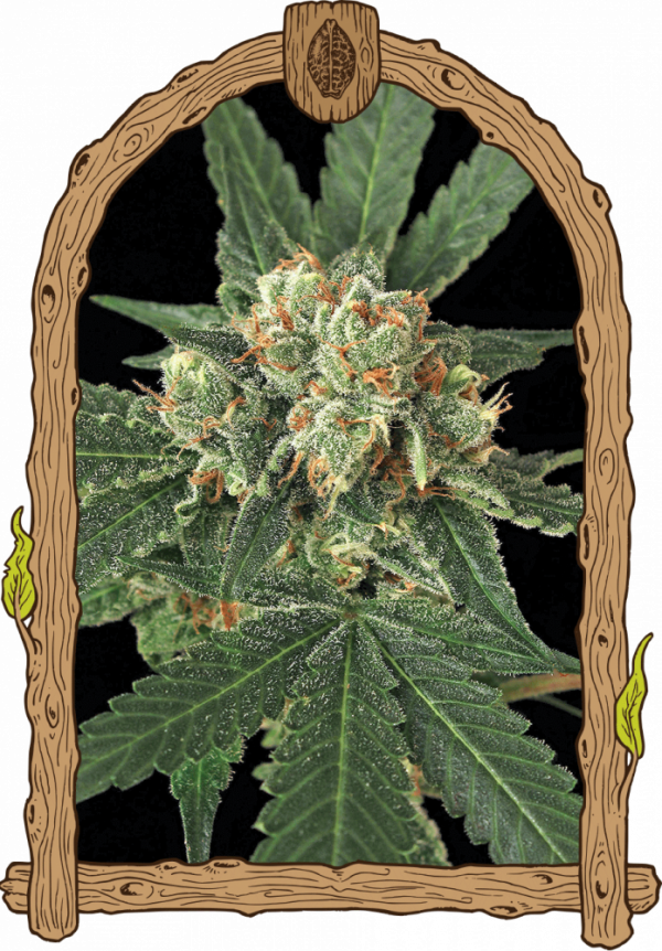 Blue Monkey Feminised Cannabis Seeds | Exotic Seeds