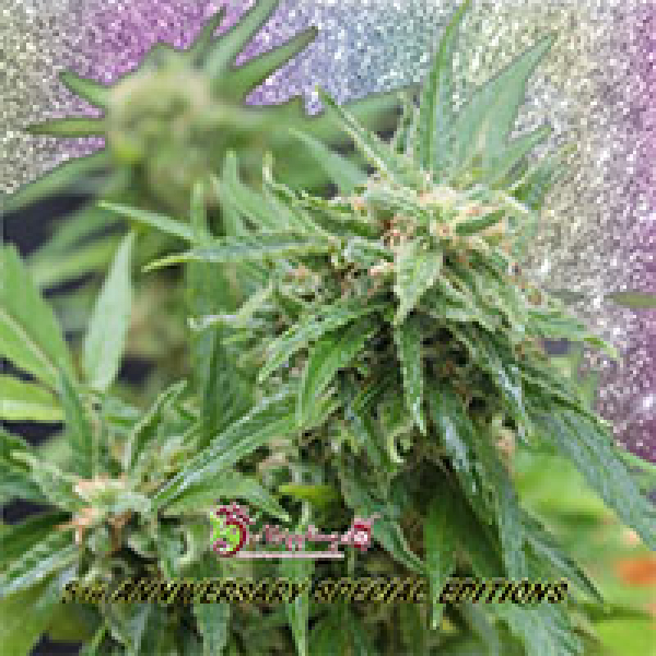 Blue Tease Auto Feminised Cannabis Seeds | Dr Krippling
