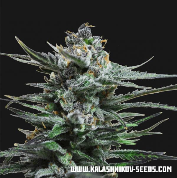 Boy Scout Cookies Feminised Cannabis Seeds | Kalashnikov Seeds